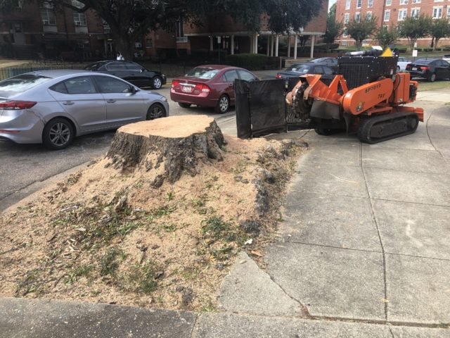 A large stump grown into the sidewalk being removed with a stump grinder at Alabama State University in Montgomery, AL
